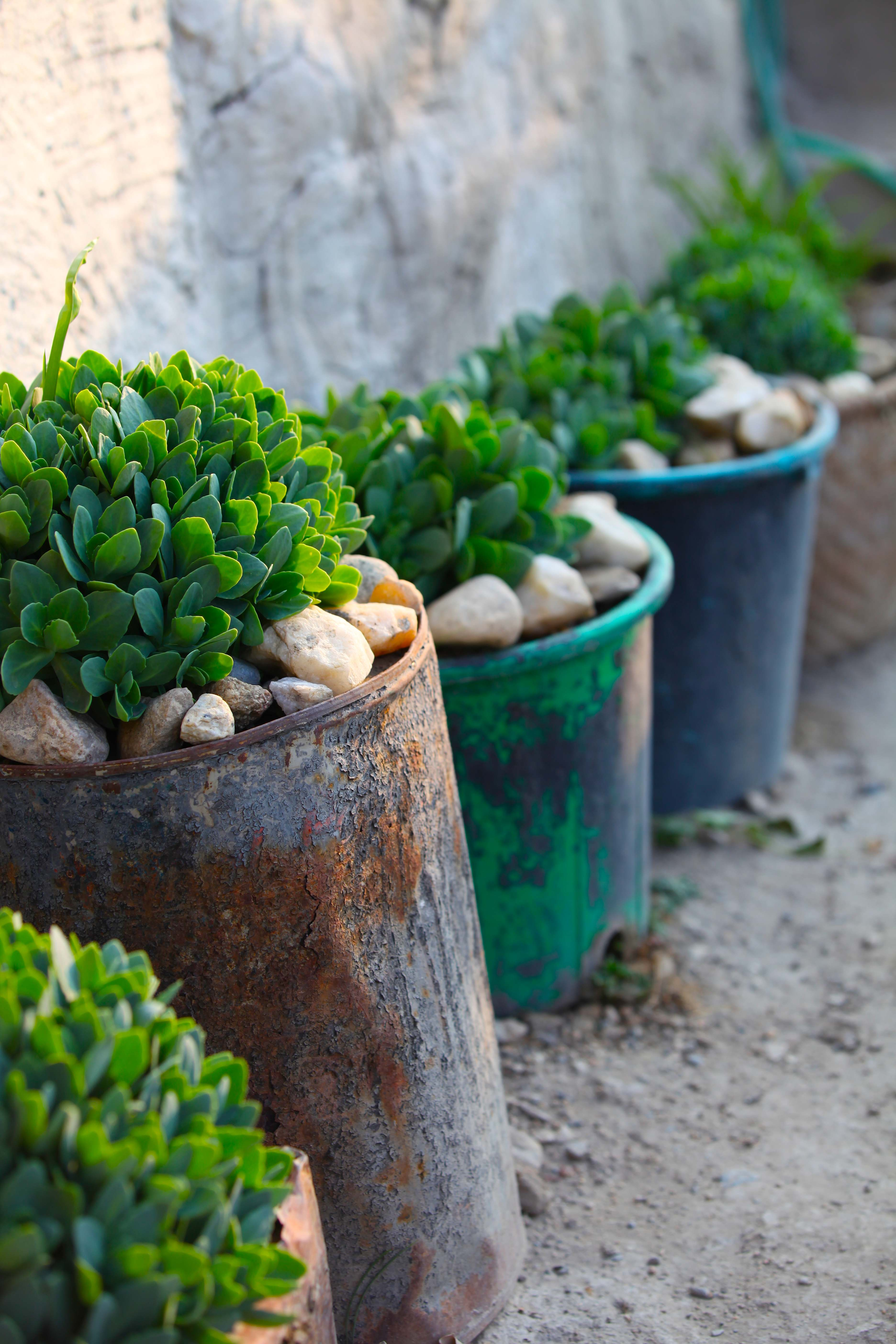 Paint Cans And Buckets Make Perfect Succulent Planters, Photo: Liesl Clark