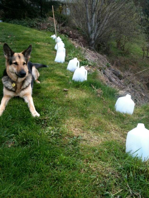 Plastic Milk Jugs Become Cloches, photo by Scott James