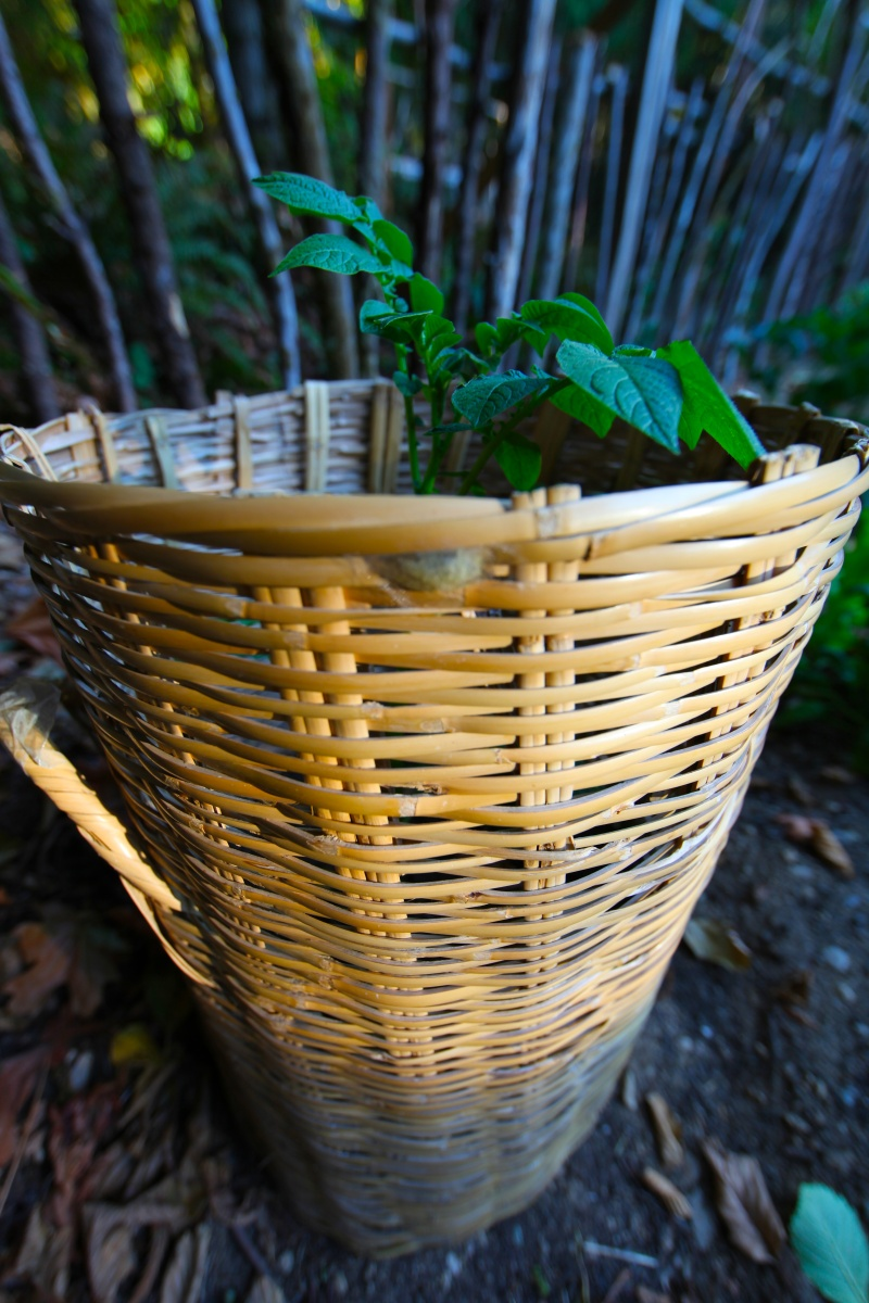 Innovative Classroom ~ Broken basket reuse potato planters trash backwards