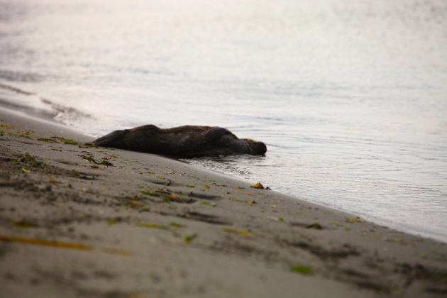 Seal Pup in Distress, Labored Breathing, Point No Point, WA. Photo © Liesl Clark