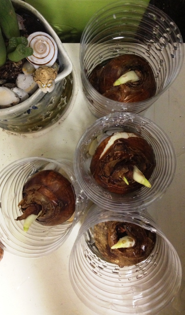 7) Sprouting day 1. Photo © Kolika Chatterjee