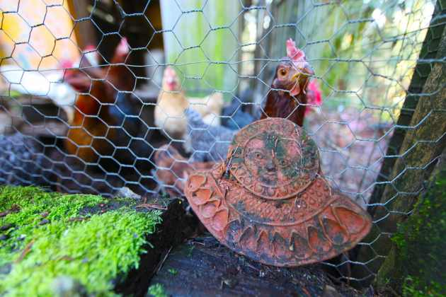 Chickens and ceramics go well together on our property. Photo © Liesl Clark