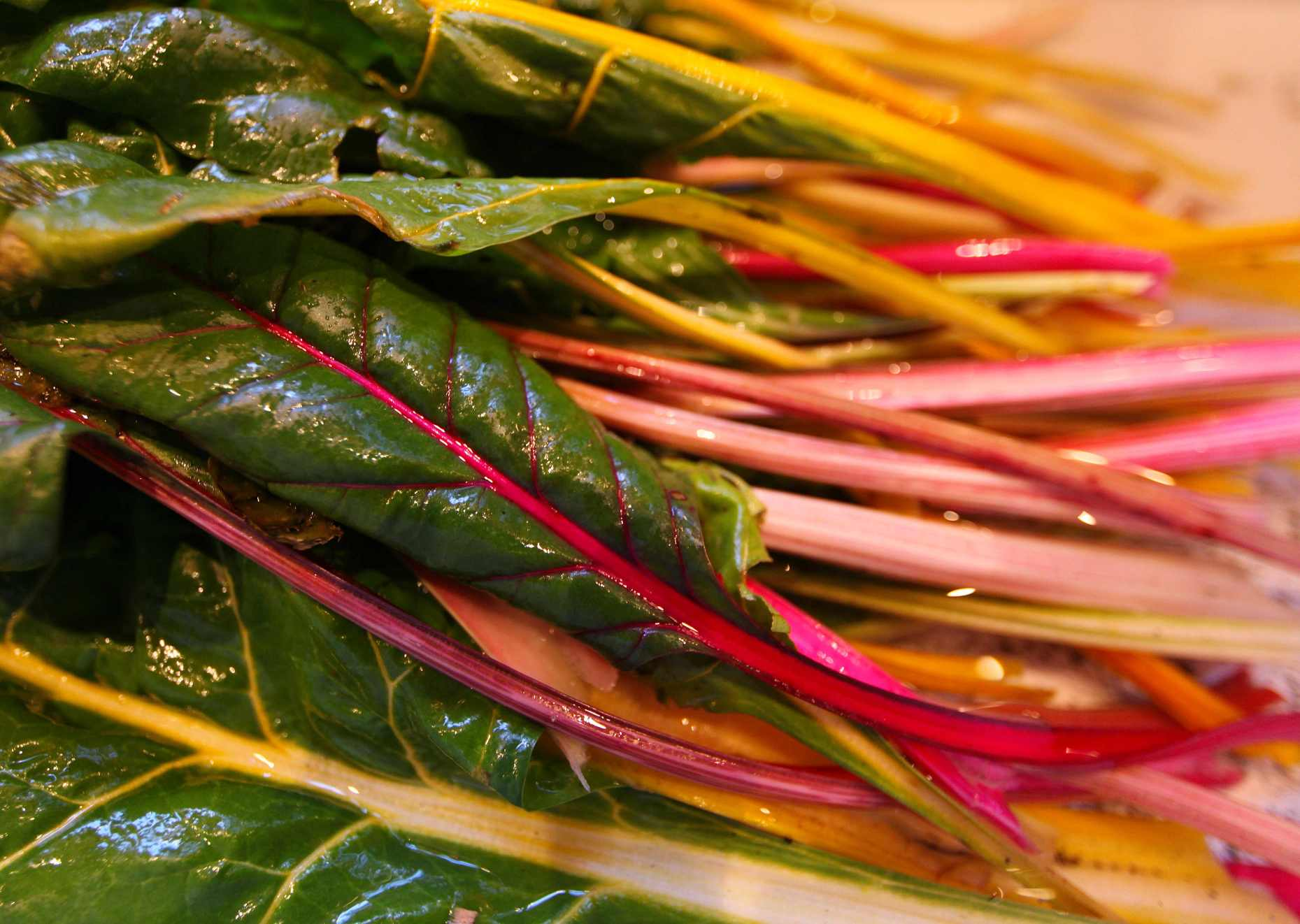 Swiss Chard From the Winter Garden Being Washed in the Farm Sink. Photo © Liesl Clark