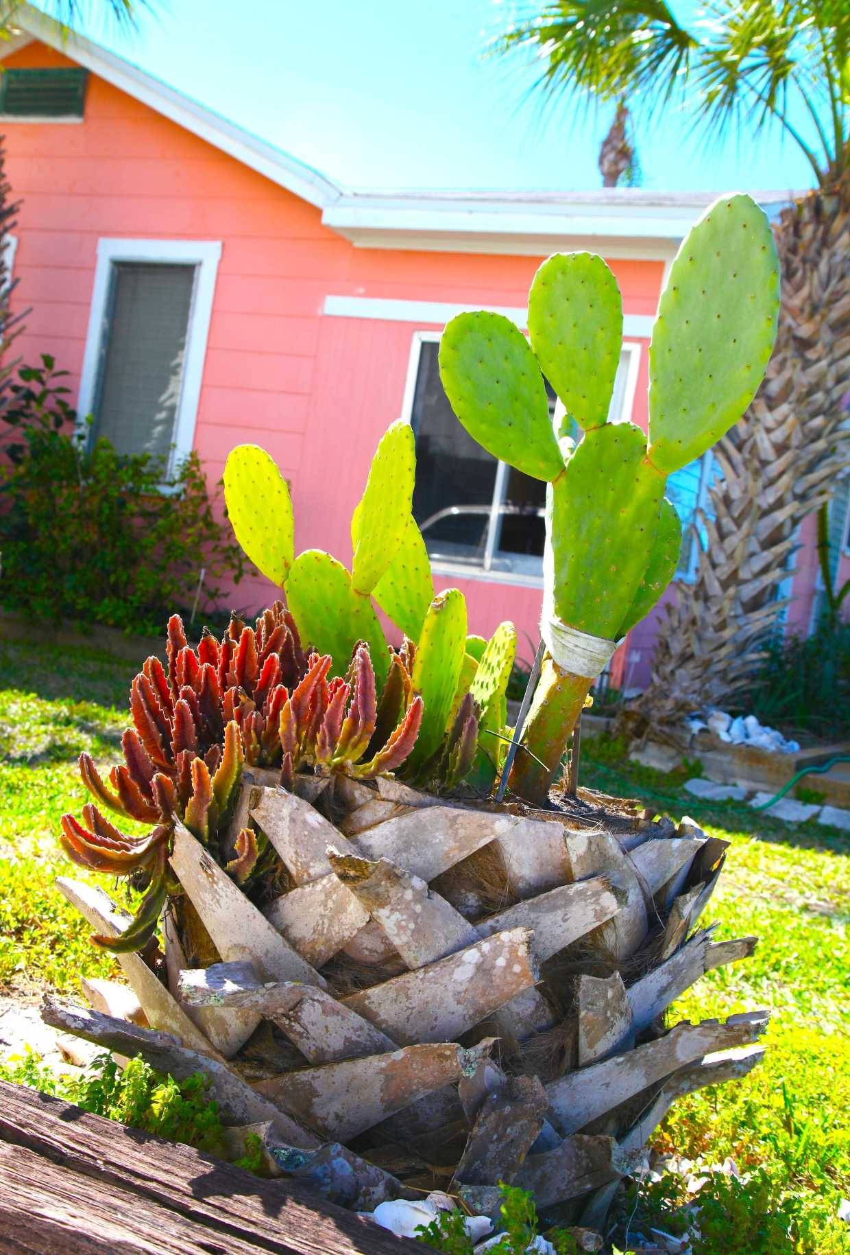 Trunk Planter For Beach Cacti. Photo © Liesl Clark