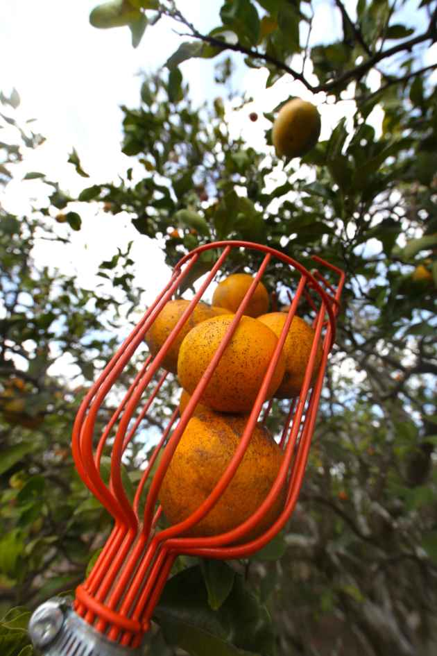 Get to know the places you vacation in a little better by picking local organic produce there. Valencia oranges are in season in February in Western Florida. Photo © Liesl Clark
