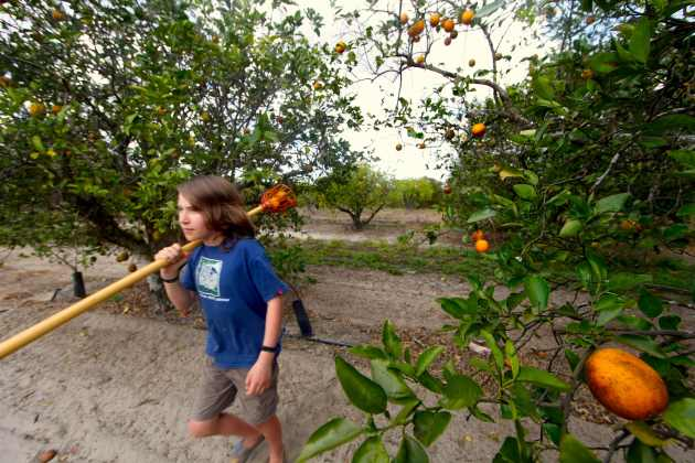 Fruit Picking in Manatee County, FL. Photo © Liesl Clark