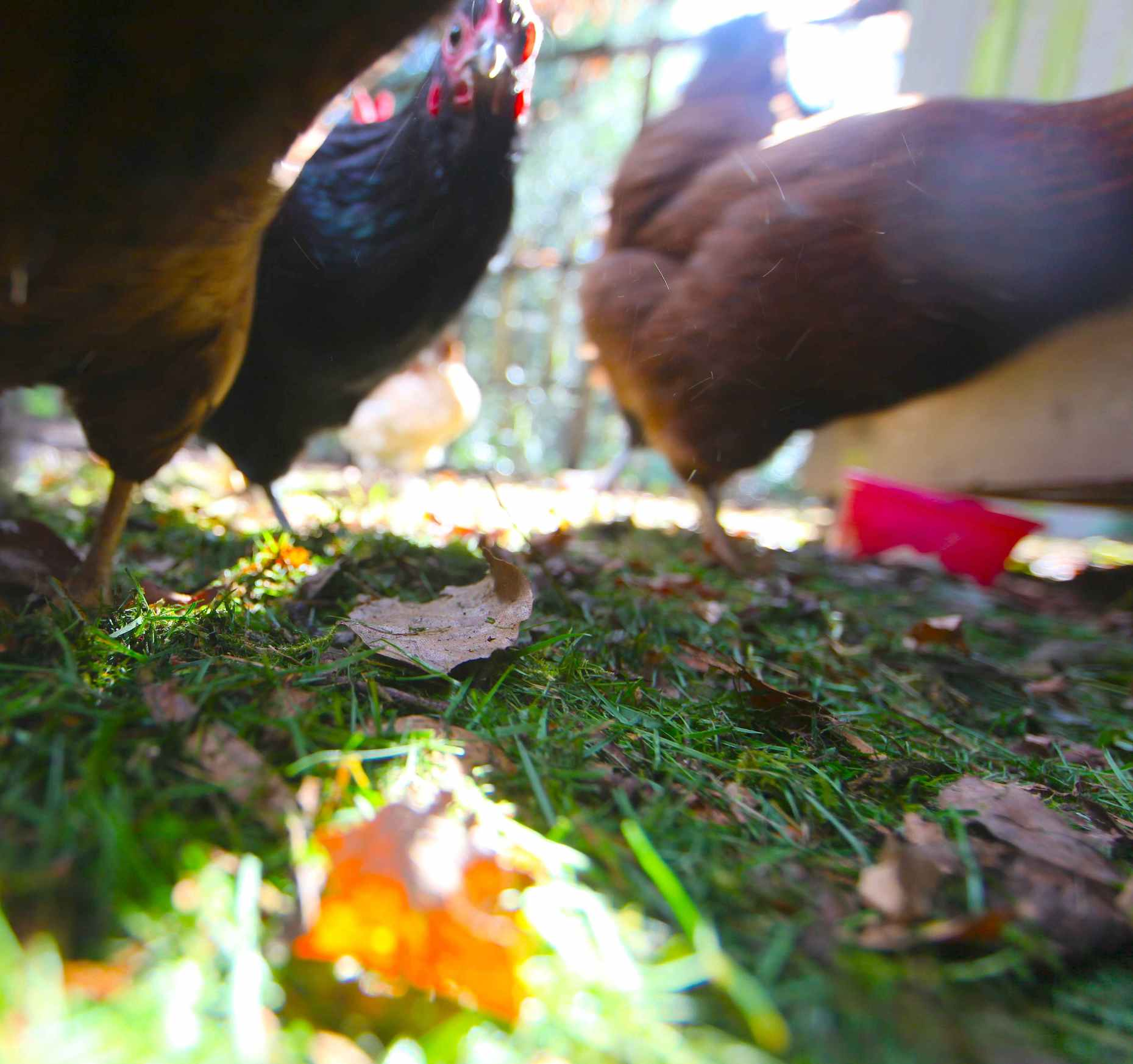 If you can't free range your yard birds, bring the yard to them. Grass clippings and leaves line our chicken run. Photo © Liesl Clark