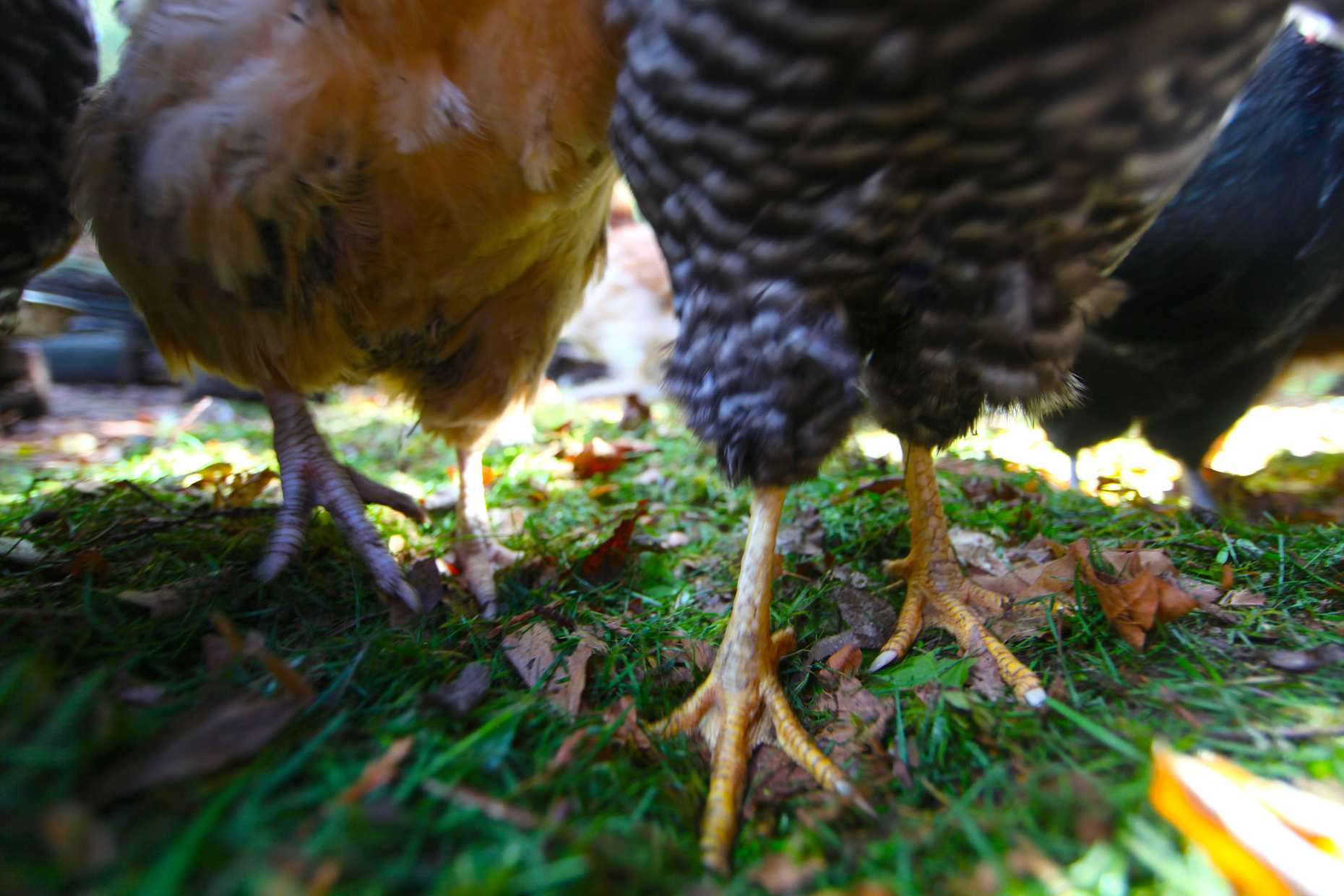 Happy feet. No mud in the mud season when you can throw grass and leaves in there. Photo © Liesl Clark