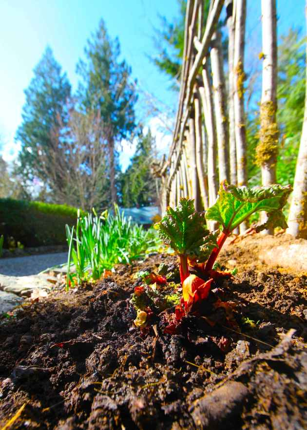 Compost from the composting chicken yard helping newly transplanted rhubarb. Photo © Liesl Clark