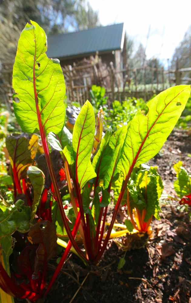 Bright Lights Chard in the Garden. Photo © Liesl Clark