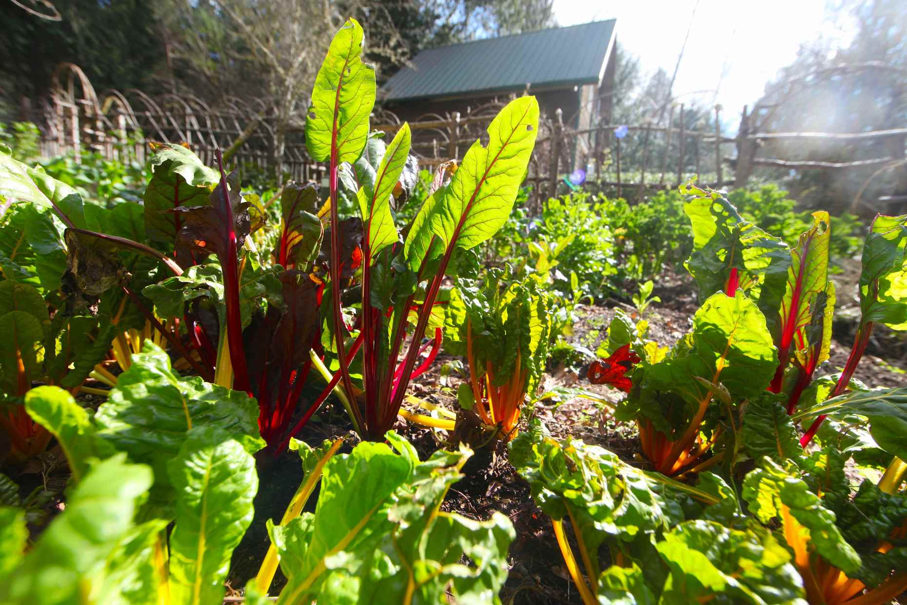 Homesteaders' dream garden in the middle of winter, thanks to our composting chick yard. Photo © Liesl Clark