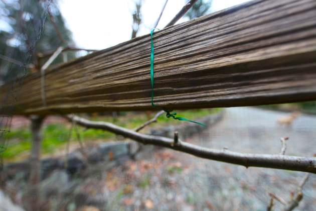 We reuse twist ties for training our espalier fruit trees. Photo © Liesl Clark