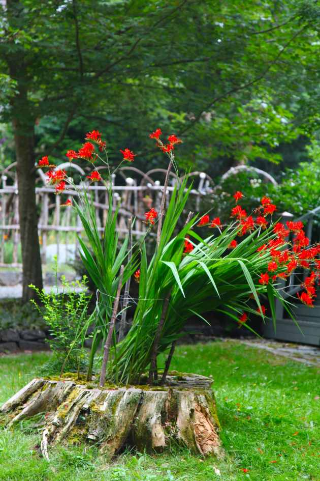 Tree Stump Turned Crocosmia Planter. Photo © Liesl Clark