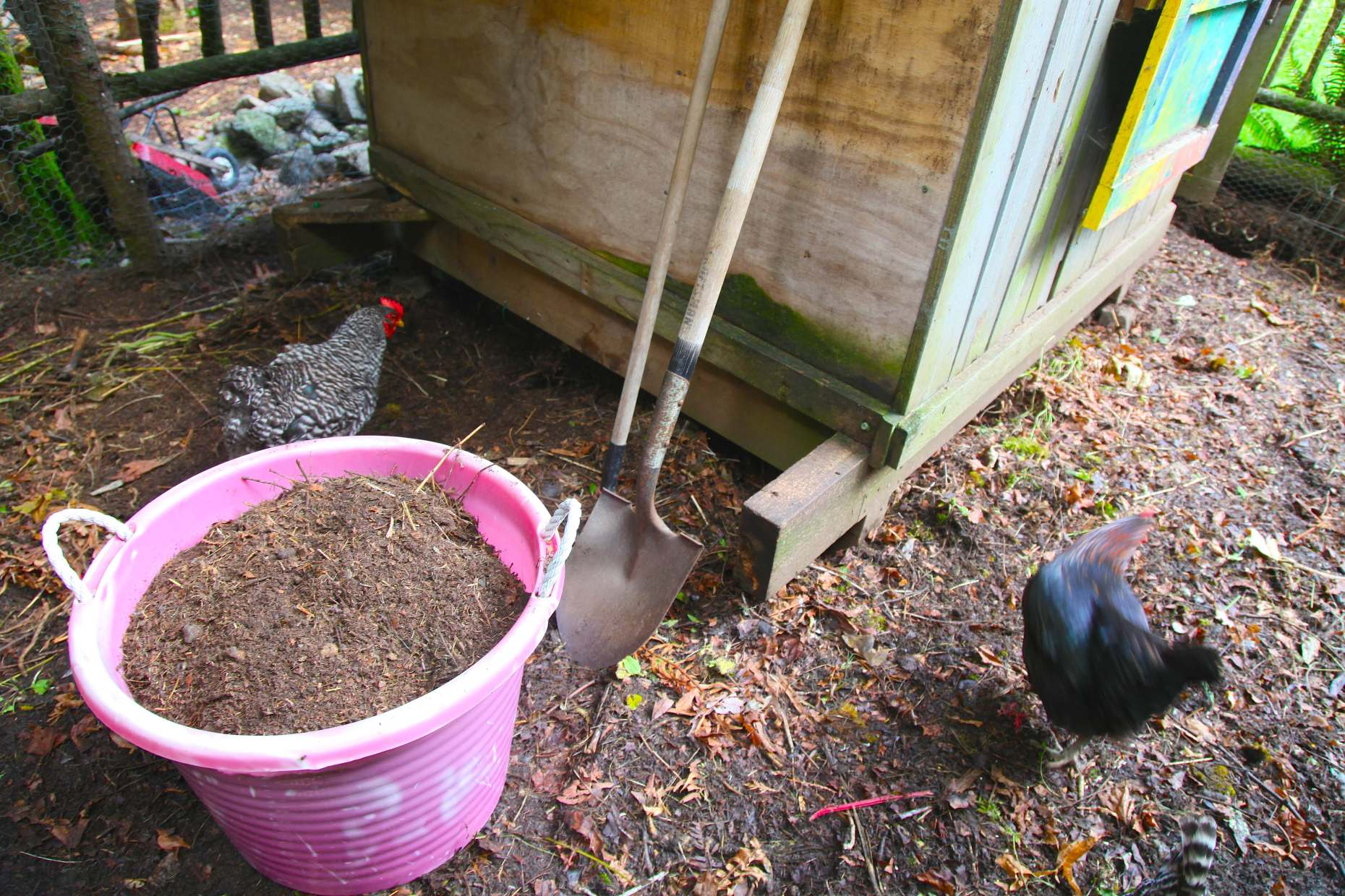 Perfect chicken-generated compost from our coop yard. Photo © Liesl Clark
