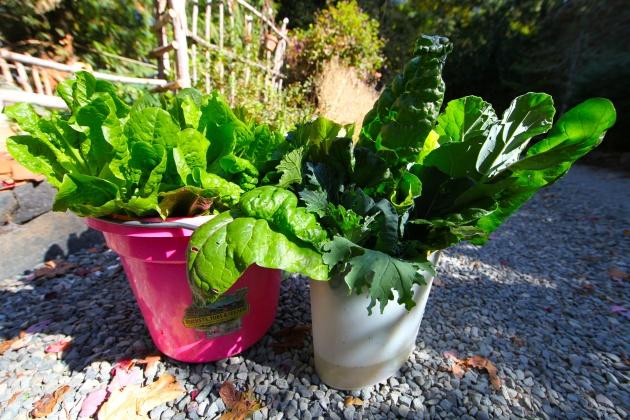 These Greens From My Garden Went to Helpline House. Photo © Liesl Clark