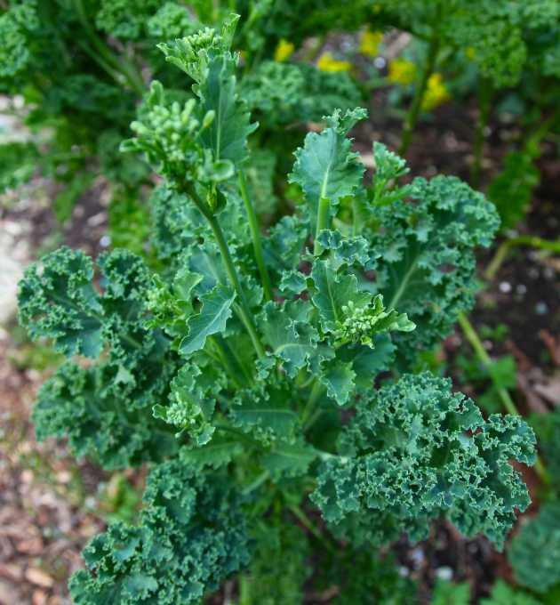 Kale flowers pinched off to make the plant produce more! Photo © Liesl Clark