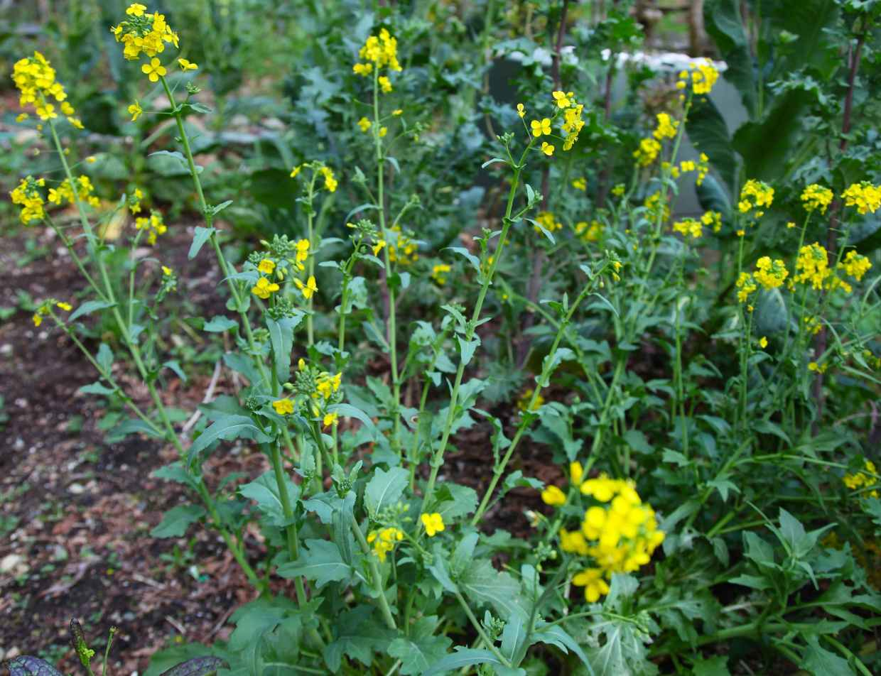 Once your brassicas flower the leaves become more bitter. But the honey bees love the flowers and the flowers work nicely in a salad. Prolong the life of your brassicas! Photo © Liesl Clark