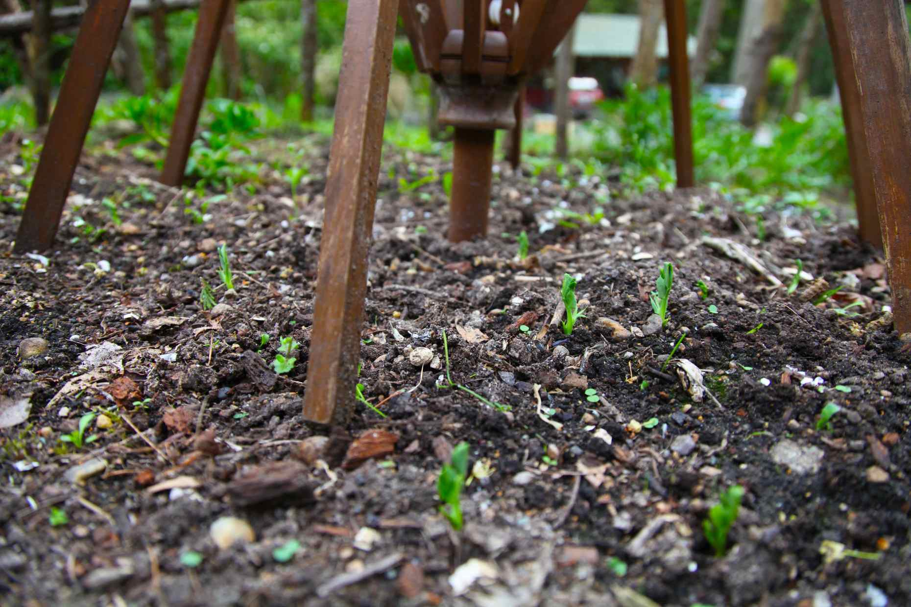 Just Sproutin'. Peas are reaching toward their patio umbrella trellis.