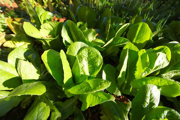 Extra Romaine Lettuce is Easy to Grow For the Hungry. Photo © Liesl Clark