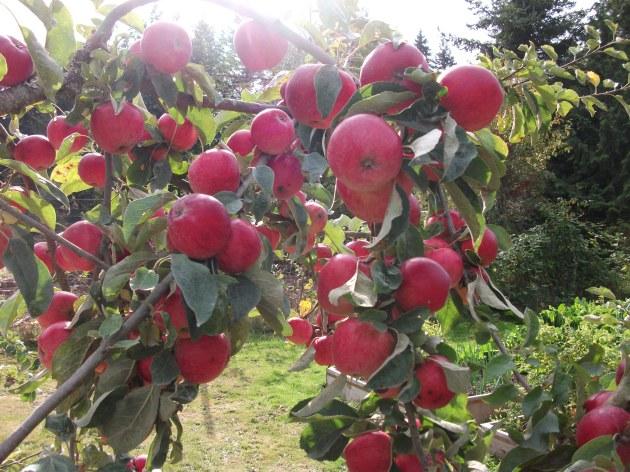 apples photo © Rebecca Rockefeller
