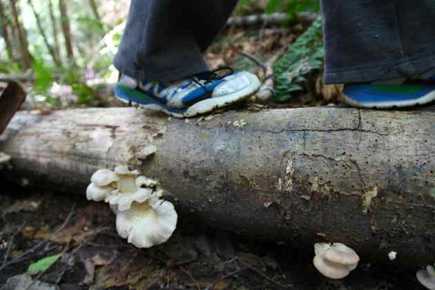 Oyster Mushrooms While on a Forest Walk. Photo © Liesl Clark