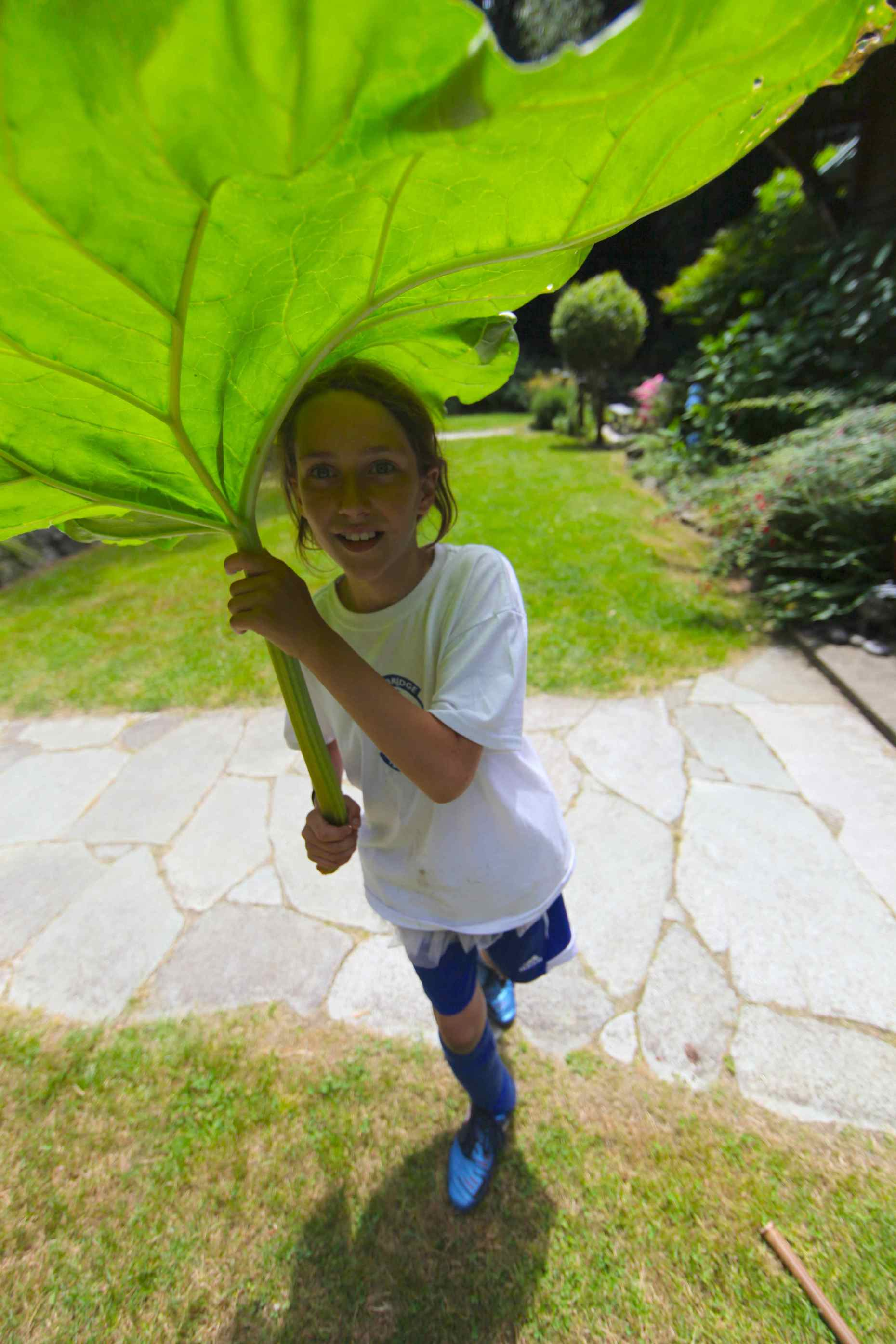 This year's rhubarb is, well, GIANT. © Liesl Clark