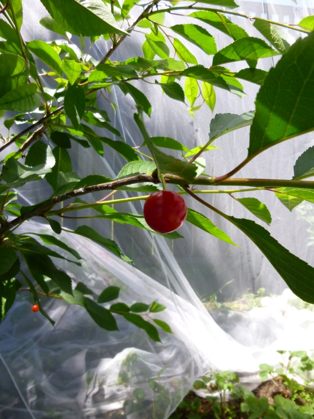 Ripe Cherry, Thanks to Reusable Netting