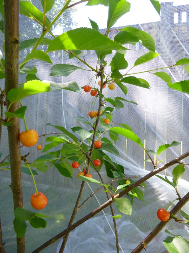 Cherries Protected by Bed Netting
