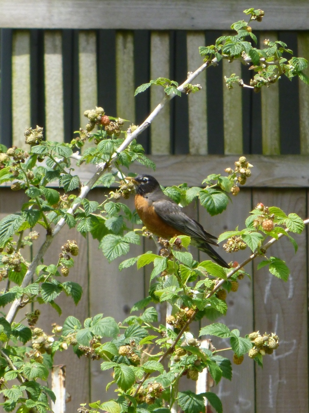 What Happens to Unprotected Fruit: Robin Stealing Raspberries