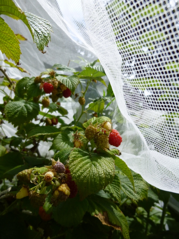 Raspberries Protected by Mesh Curtain